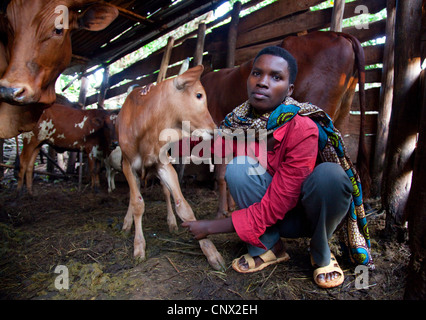 domestic cattle (Bos primigenius f. taurus), young woman in a humble cowshed taking care of a calf, Burundi, Cankuzo, - Stock Photo