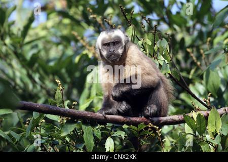 Brown Capuchin Monkey, Sapajus apella - Stock Photo