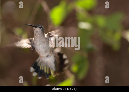 Ruby-throated hummingbird (Archilochus colubris), female hovering, USA, Arizona - Stock Photo