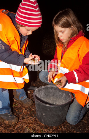 European common toad (Bufo bufo), two girls collecting toads in a bucket at a roadside during a nightly toad migration in order to carry them to the other side, Germany, North Rhine-Westphalia