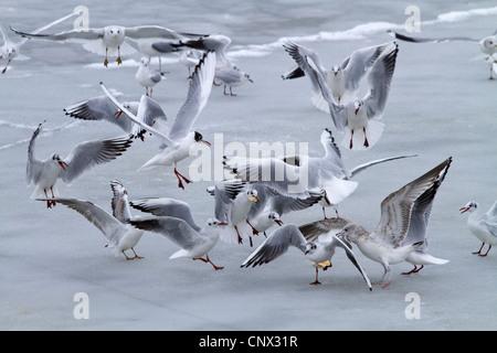 black-headed gull (Larus ridibundus), flock fight over food on frozen lake surface, Germany, Bavaria, Chiemsee - Stock Photo