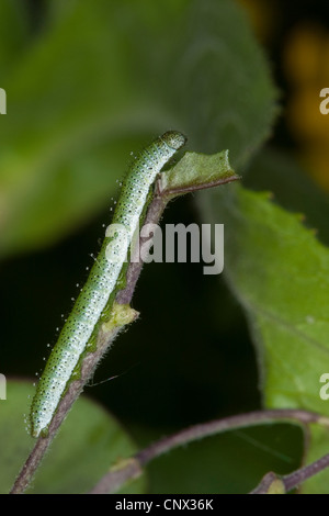 orange-tip (Anthocharis cardamines), caterpillar of an orange-ipt, Germany - Stock Photo