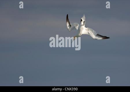 northern gannet (Sula bassana, Morus bassanus), nose dive, Germany, Heligoland - Stock Photo