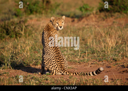 cheetah (Acinonyx jubatus), female sitting in the savannah, turning the head and looking back, Kenya, Masai Mara - Stock Photo