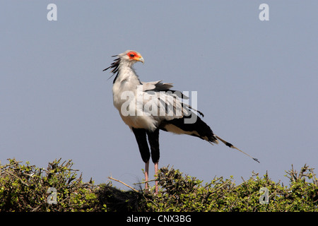 secretary bird, Sagittarius serpentarius (Sagittarius serpentarius), sitting on a tree top, Kenya, Masai Mara National - Stock Photo
