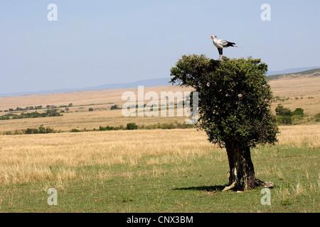 secretary bird, Sagittarius serpentarius (Sagittarius serpentarius), sitting on top of a single tree in the savannah, - Stock Photo