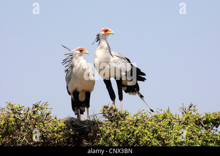 secretary bird, Sagittarius serpentarius (Sagittarius serpentarius), two birds sitting side by side on a tree top, - Stock Photo