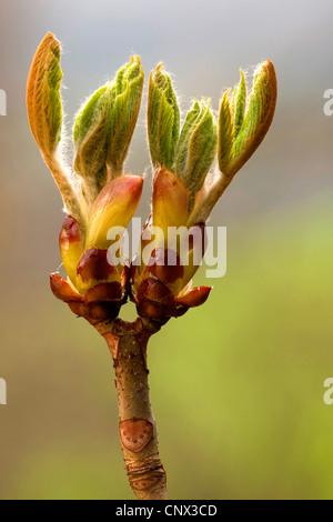common horse chestnut (Aesculus hippocastanum), opening buds, Germany, Rhineland-Palatinate - Stock Photo