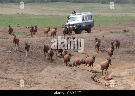 red hartebeest (Alcelaphus buselaphus), herd fleeing from a photographer stopping his an off-road vehicle to take - Stock Photo
