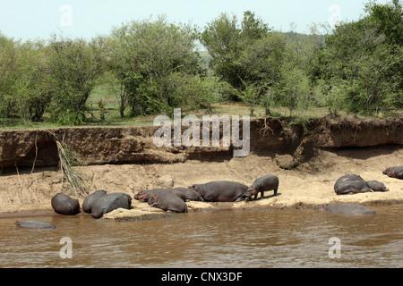 hippopotamus, hippo, Common hippopotamus (Hippopotamus amphibius), herd resting at a riverside, Kenya, Masai Mara - Stock Photo