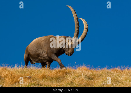 alpine ibex (Capra ibex), mighty male walking over a grass-grown hill ridge in front of a clear blue sky, Switzerland, - Stock Photo