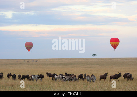 Balloon safari in the Masai Mara with zebras and wildbeests, Kenya, Masai Mara National Park - Stock Photo