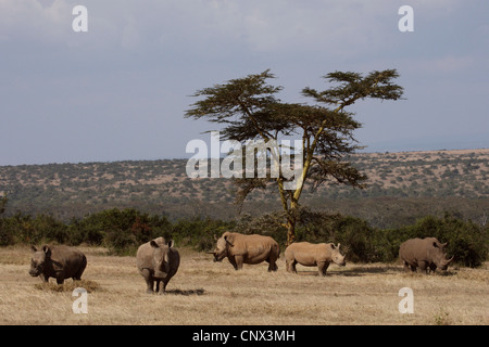 white rhinoceros, square-lipped rhinoceros, grass rhinoceros (Ceratotherium simum), herd in the savannah, Kenya - Stock Photo