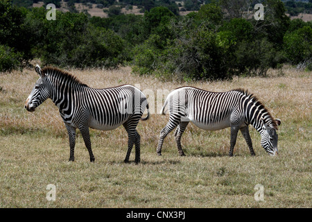 Grevy's zebra (Equus grevyi), grazing, Kenya, Sweetwaters Game Reserve - Stock Photo