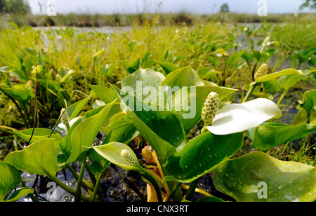 bog arum, wild calla (Calla palustris), blooming at mire border, Germany, Lower Saxony, NSG Grosses Torfmoor - Stock Photo