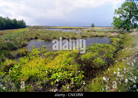 bog arum, wild calla (Calla palustris), blooming at mire border, Germany, Lower Saxony, Grosses Torfmoor - Stock Photo
