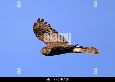 hen harrier (Circus cyaneus), female flying, Netherlands, Texel - Stock Photo