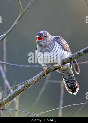 Eurasian cuckoo (Cuculus canorus), squeeker sitting on a branch calling, Netherlands, Flevoland - Stock Photo