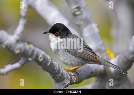 sardinian warbler (Sylvia melanocephala), male sitting on a branch, Canary Islands, Fuerteventura - Stock Photo