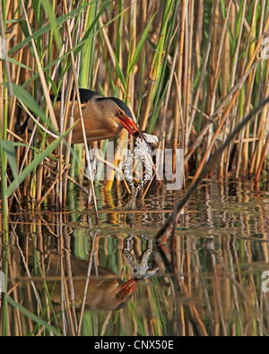 little bittern (Ixobrychus minutus), male with a frog in the beak caught from out of the reed, Greece, Kerkini-See - Stock Photo