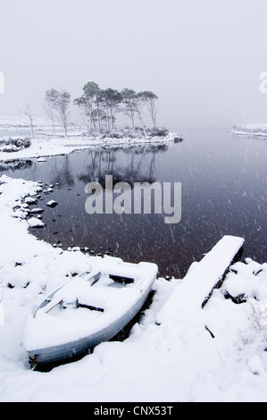 Group of native Scots Pine (Pinus sylvestris) trees and a boat, on the shore of a lake in a snow storm. Loch Assynt, - Stock Photo