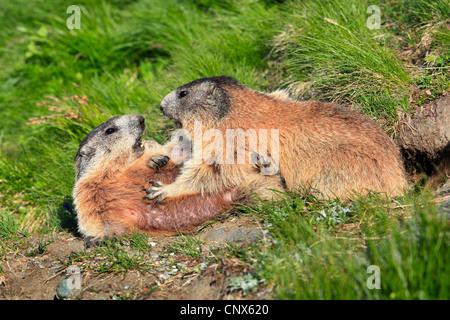 alpine marmot (Marmota marmota), two animals in a mountain meadow, Austria, Hohe Tauern National Park - Stock Photo