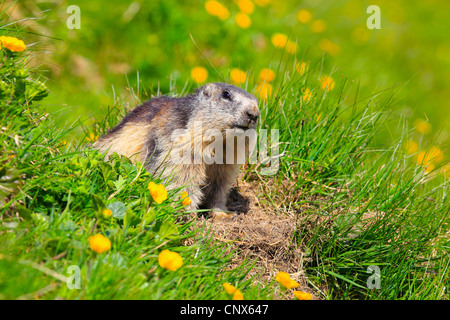 alpine marmot (Marmota marmota), juvenile sitting in a mountain meadow with buttercups in front of the den, Austria, - Stock Photo