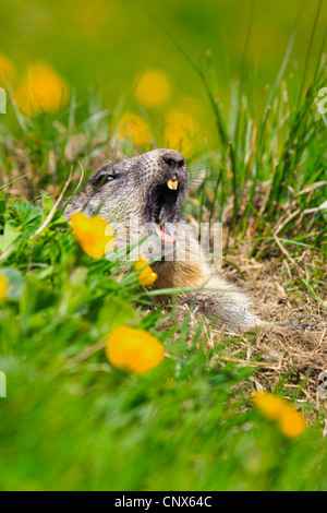 alpine marmot (Marmota marmota), juvenile yawning while looking out of the den  in a mountain meadow with buttercups, - Stock Photo