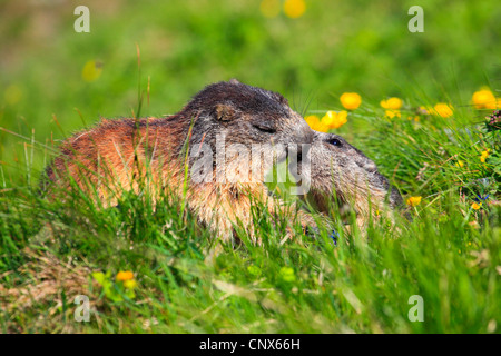 alpine marmot (Marmota marmota), strength competition of two animals in a mountain meadow, Austria, Hohe Tauern - Stock Photo