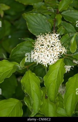 dogwood, dogberry (Cornus sanguinea), blooming, Germany - Stock Photo
