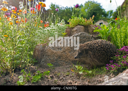 Western hedgehog, European hedgehog (Erinaceus europaeus), in the garden, Germany - Stock Photo