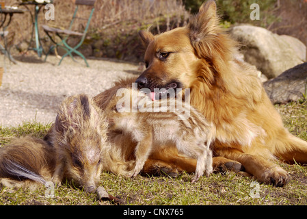wild boar, pig, wild boar (Sus scrofa), dog playing with piglets, Germany - Stock Photo