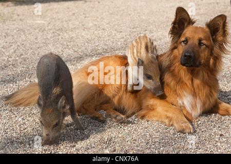 wild boar, pig, wild boar (Sus scrofa), piglets climbing on a dog, Germany - Stock Photo