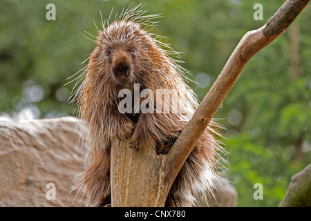 North American porcupine (Erethizon dorsatum), sitting on a climbing tree - Stock Photo