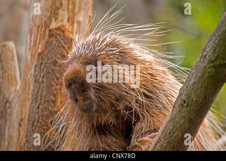 North American porcupine (Erethizon dorsatum), sitting on a branch - Stock Photo
