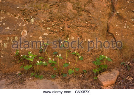 Tall-white violet (Viola canadensis var. scopulorum ), blooming, USA, Utah, Zion National Park, Slot Canyons - Stock Photo