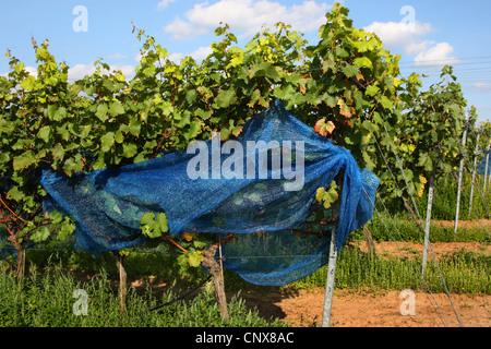 grape-vine, vine (Vitis vinifera), grapevines with bird protection net, Germany - Stock Photo