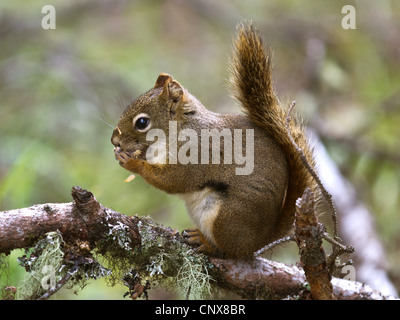 eastern red squirrel, red squirrel (Tamiasciurus hudsonicus), sitting on a branch overgrown with lichen, Canada, - Stock Photo