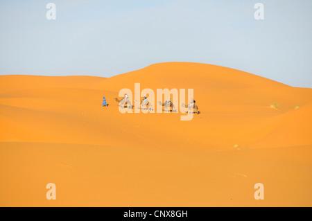 dromedary, one-humped camel (Camelus dromedarius), caravan in Erg Chebbi, Morocco - Stock Photo