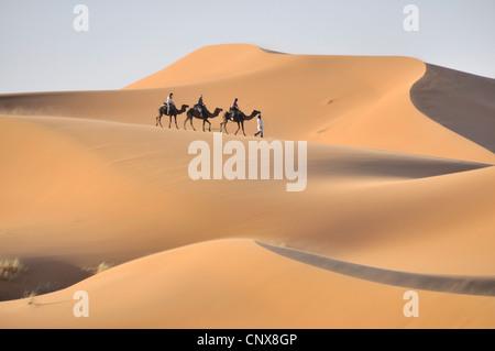 dromedary, one-humped camel (Camelus dromedarius), caravan in Erg Chebbi, Morocco, Maghreb - Stock Photo