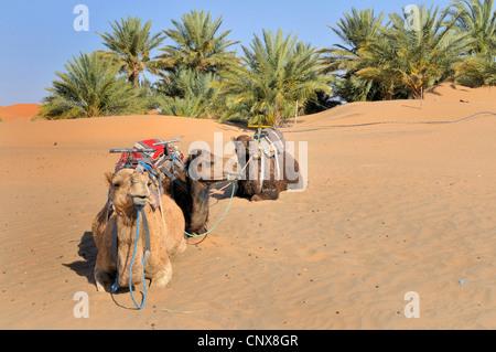 dromedary, one-humped camel (Camelus dromedarius), three resting individuals, Morocco, Erg Chebbi - Stock Photo