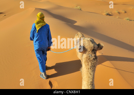 dromedary, one-humped camel (Camelus dromedarius), with camel guide in the desert, Morocco, Erg Chebbi - Stock Photo