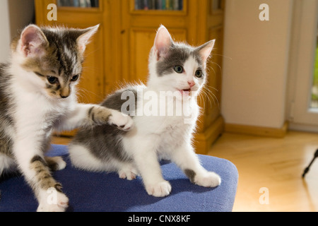 domestic cat, house cat (Felis silvestris f. catus), two young kittens playing - Stock Photo