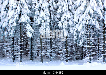 Norway spruce (Picea abies), view into a snow-covered spruce forest, Germany, Saxony, Erz Mountains - Stock Photo