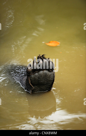 brown bear (Ursus arctos), paw in the water, Germany, Bavaria, Bavarian Forest National Park - Stock Photo