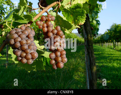 grapes in a vineyard in autumn. NOT AVAILABLE FOR USE IN CALENDERS, Germany, Rhineland-Palatinate, Siebeldingen - Stock Photo