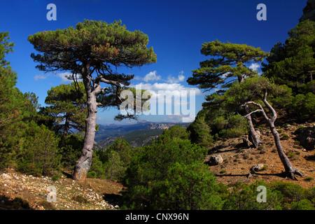 European black pine, Austrian pine, Black Pine, Corsican Pine (Pinus nigra), in the mountains of Sierra de Cazorla - Stock Photo