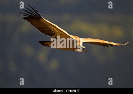 griffon vulture (Gyps fulvus), flying, Spain, Extremadura - Stock Photo