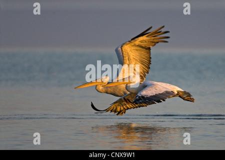 Dalmatian pelican (Pelecanus crispus), starting, Greece, Kerkini - Stock Photo