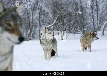 European gray wolf (Canis lupus lupus), three animals standing on a snow-covered plain in front of a forest looking - Stock Photo
